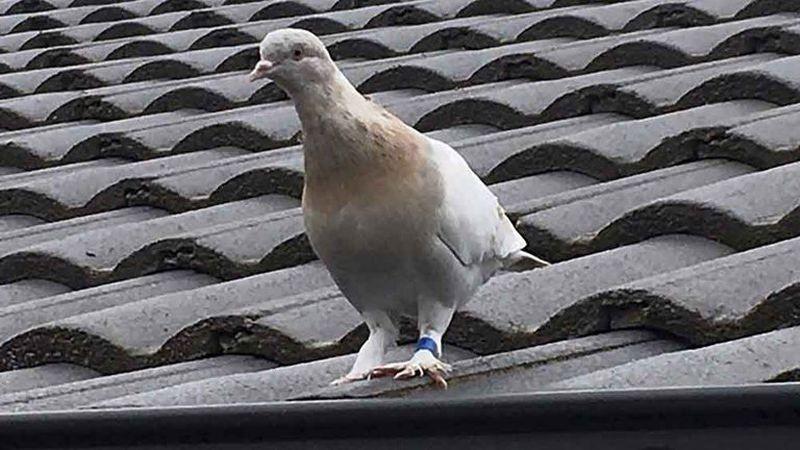 Una paloma cruzó el Pacífico desde Estados Unidos hasta Australia y ahora la quieren matar por miedo que transmita enfermedades