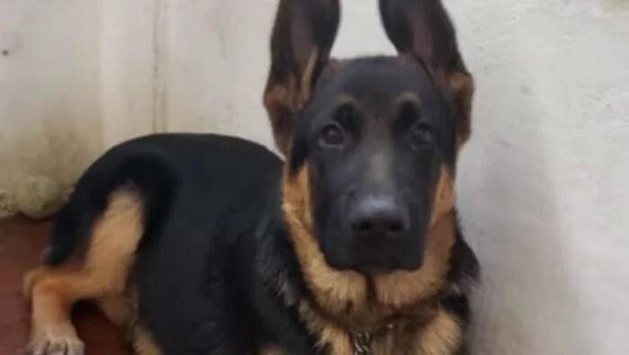 Un perro héroe, Lobo dio su vida para salvar a una mujer del incendio de Potrerillos