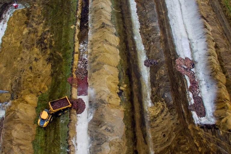 Horror en Dinamarca: los visones sacrificados para prevenir un brote de COVID-19 están emergiendo de la tierra